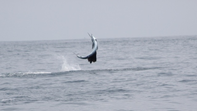 Airborne Sailfish