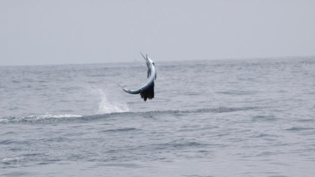 Airborne Sailfish